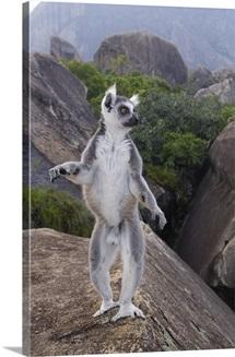 Ring-tailed Lemur (Lemur catta) male walking upright on rocks