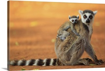 Ring-tailed Lemur mother with baby clinging to her back, vulnerable