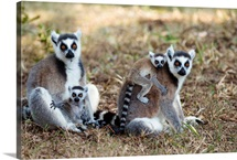 Ring-tailed Lemur mothers with young, Nahampoana Reserve, Madagascar