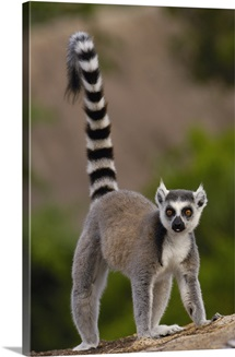 Ring-tailed Lemur on rocks in the Andringitra Mountains, Madagascar