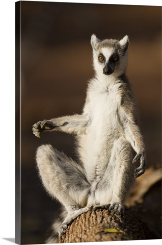 Ring-tailed Lemur sun bathing at dawn, Berenty Private Reserve ...
