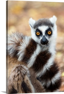 Ring-tailed Lemur wrapping tail around itself, Berenty Reserve, Madagascar