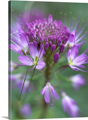 Rocky Mountain Bee Plant (Cleome serrulata) flower, Great Sand Dunes National Monument
