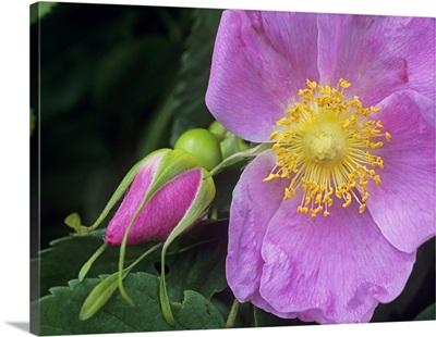 Rose (Rosa sp) flower, British Columbia, Canada