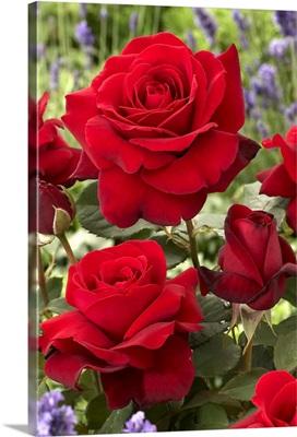 Rose (Rosa sp) flowers