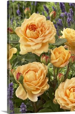 Rose (Rosa sp) golden celebration variety flowers