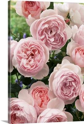 Rose (Rosa sp) heritage variety flowers