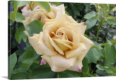 Rose (Rosa sp) honey dijon variety flowers