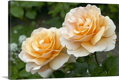 Rose (Rosa sp) just joey variety flowers