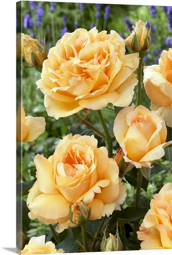 Rose (Rosa sp) solo mio renaissance variety flowers Wall Art, Canvas ...