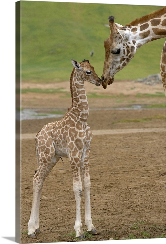 Rothschild Giraffe Mother Kissing Calf Native To Africa