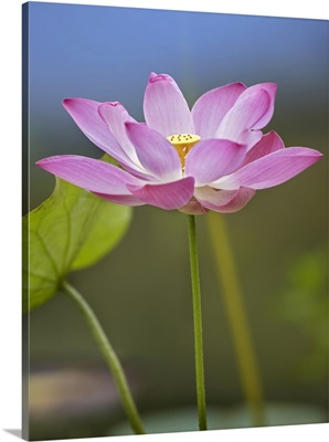 Sacred Lotus (Nelumbo nucifera) flower, native to Asia