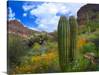 Saguaro amid flowering Lupine, California Brittlebush and Desert Golden Poppies