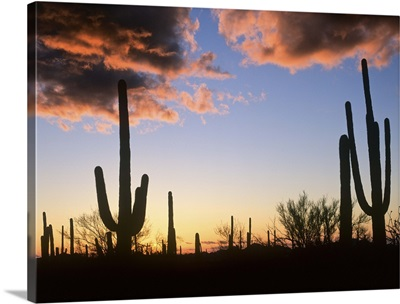 Saguaro cacti at sunset, Saguaro National Monument, Arizona