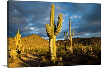 Saguaro cacti in desert, Arizona