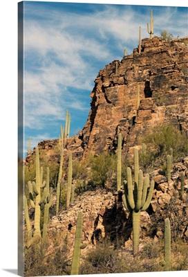 Saguaro cacti, Sabino Canyon, Saguaro National Park, Arizona