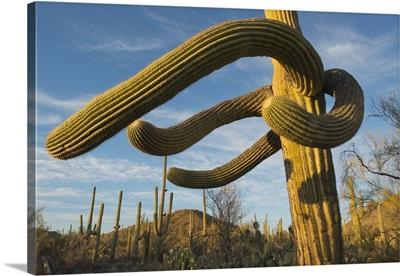 Saguaro cacti, Saguaro National Park, Arizona