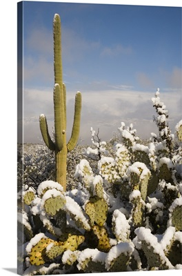 Saguaro cactus in snow, Saguaro National Park, Tucson, Arizona