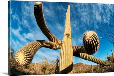Saguaro cactus, Saguaro National Park, Arizona