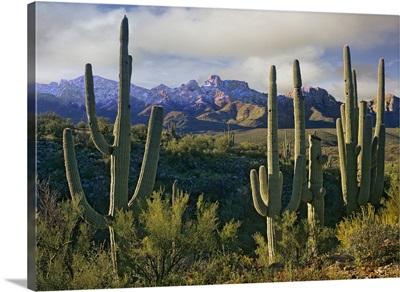 Saguaro (Carnegiea gigantea) cacti and Santa Catalina Mountains, Arizona