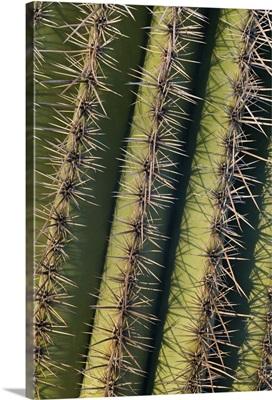 Saguaro (Carnegiea gigantea) cactus spines, Saguaro National Park, Arizona