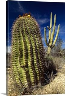 Saguaro with Fishhook Barrel Cactus, Sonoran Desert, Arizona