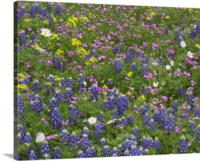 Sand Bluebonnet, Pointed Phlox, White Prickly Poppy, and Squaw-weed flowers
