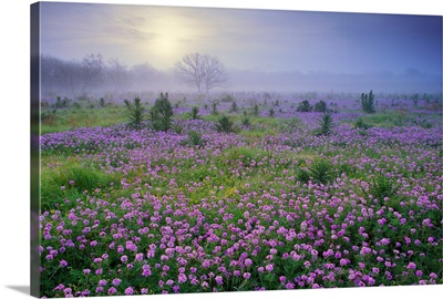 Sand Verbena (Abronia sp) flower field at sunrise in fog, Hill Country, Texas