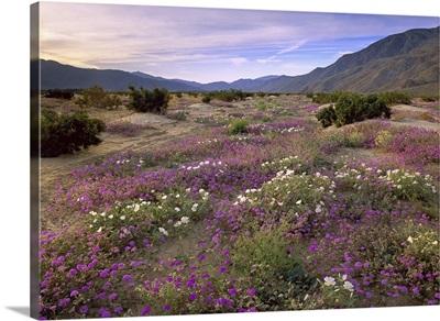 Sand Verbena and Primrose blooming Anza Borrego Desert State Park California