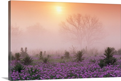 Sand Verbena foggy sunrise Hill Country Texas