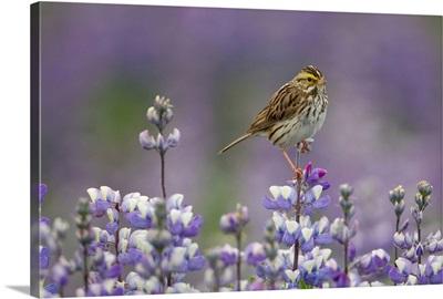 Savannah Sparrow in field of Nootka Lupine, Alaska