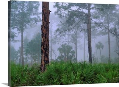 Saw Palmetto and Pine trees in fog, near Estero River, Florida