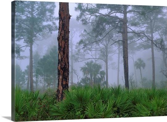 saw palmetto and pine trees in fog near estero river florida wall