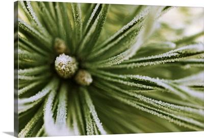 Scotch Pine (Pinus sylvestris) close up, Europe