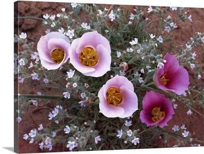 Sego Lily, state flower of Utah, Canyonlands National Park, Utah