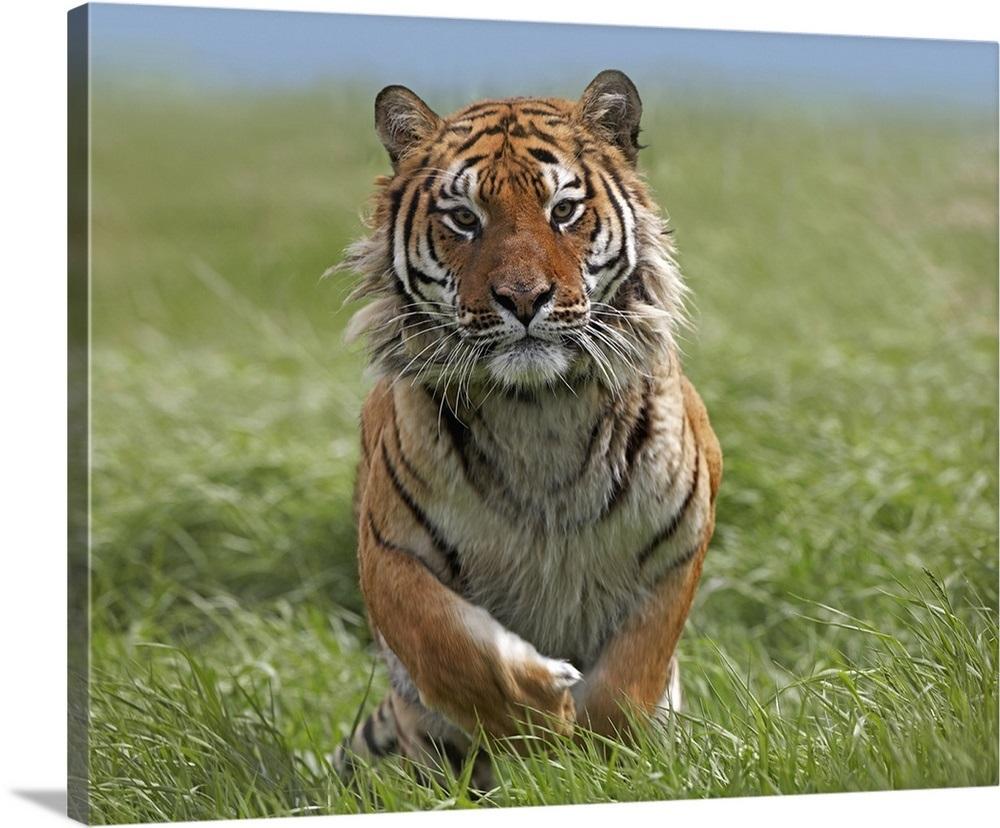 Siberian Tiger Panthera Tigris Altaica Running Native