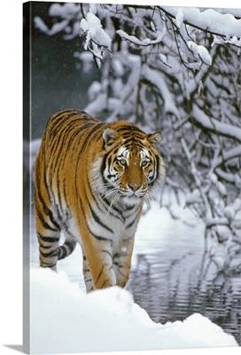 Siberian Tiger walking in snow, Siberian Tiger Park, Harbin, China