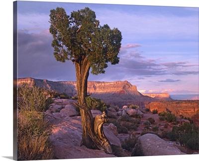 Single-leaf Pinyon Pine at Toroweap Overlook, Grand Canyon National Park, Arizona