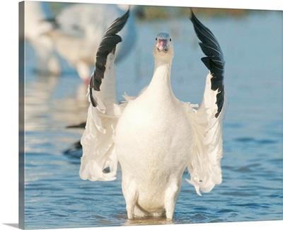 Snow Goose flapping wings, Skagit River, Washington