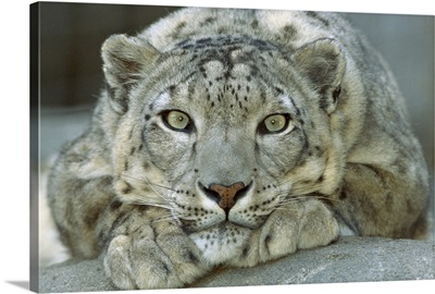 Snow Leopard portrait, mountainous regions of central Asia