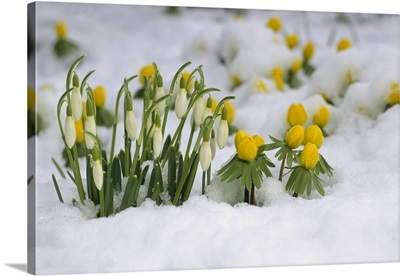 Snowdrops (Galanthus nivalis) blooming in snow, Germany