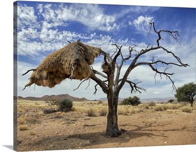 Sociable Weaver nest, Namib Desert, Namibia