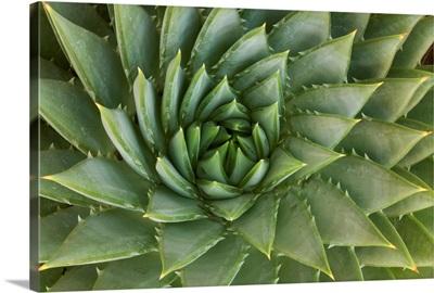 Spiral Aloe, UCSC Arboretum, Santa Cruz, Monterey Bay, California