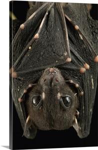 Spotted Winged Fruit Bat Roosting Bintulu Borneo