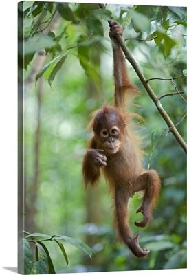 Sumatran Orangutan baby dangling from tree branch, north Sumatra, Indonesia
