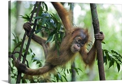 Sumatran Orangutan baby playing in tree, north Sumatra, Indonesia