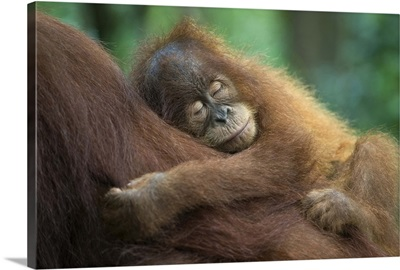 Sumatran Orangutan baby sleeping on mother, north Sumatra, Indonesia