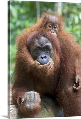 Sumatran Orangutan mother and playful two and a half year old baby