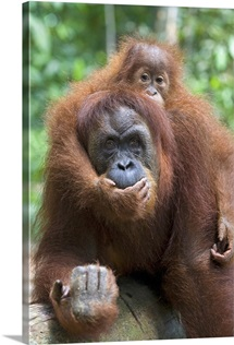 Sumatran Orangutan mother and playful two and a half year old baby