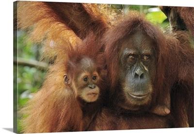 Sumatran Orangutan mother with young, Gunung Leuser National Park, Indonesia